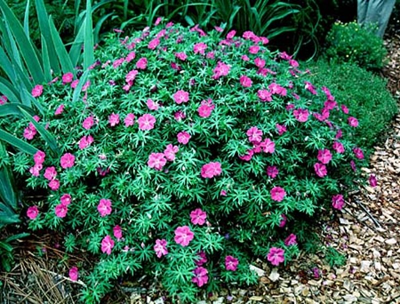 10 easy peasy indian flowering plants for brand new for Low maintenance summer plants