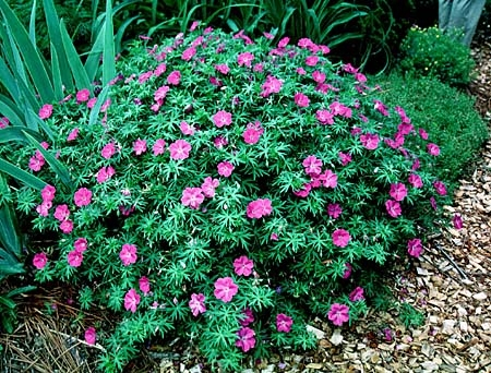 10 easy peasy indian flowering plants for brand new gardeners article image mightylinksfo