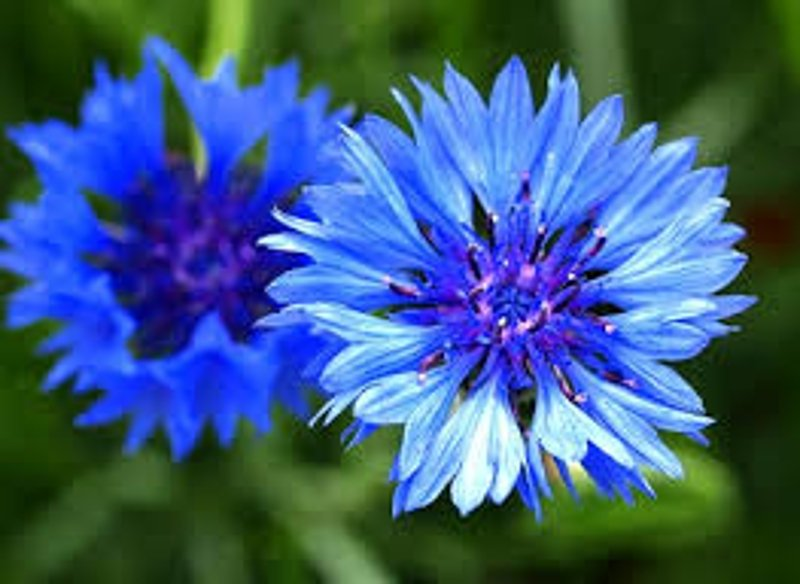 Cornflower Grows Quickly And Flowers Heavily Image