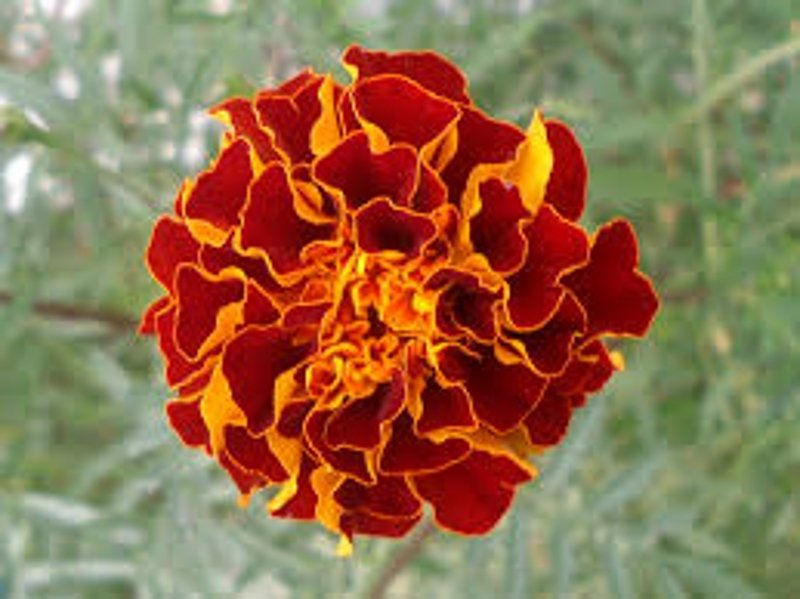 10 Flowering Annuals To Fill Your Garden With Color ...